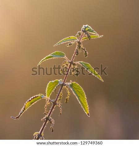 stinging nettle plant - stock photo