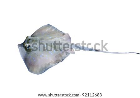 stingray isolated on white background - stock photo