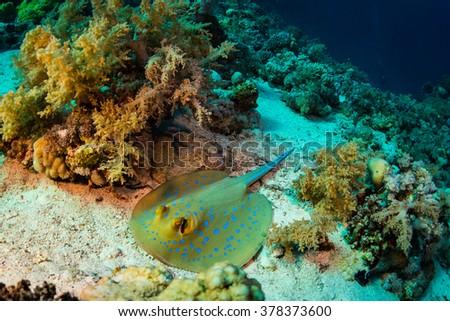 Stingray on coral reaf of Sharm El Sheih - stock photo