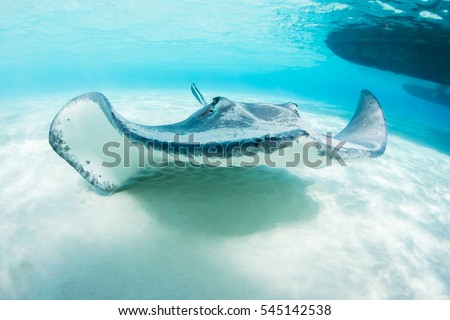 stingray swimming in crystal clear caribbean water with white sand sea floor at stingray city grand cayman