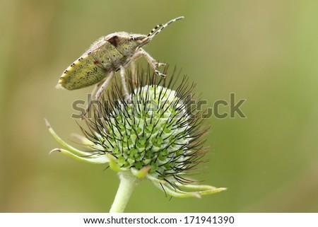 Stink bug (Pentatoma sp) - stock photo