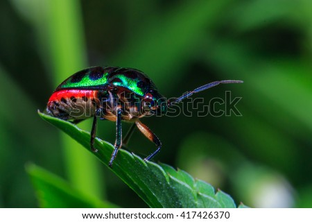Stink bugs(Eocanthecona  furcellata),bugs,insect,animal,nature. - stock photo