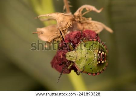 Stinkbug on a raspberry - stock photo