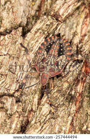 Stinkbug on a tree bark - stock photo