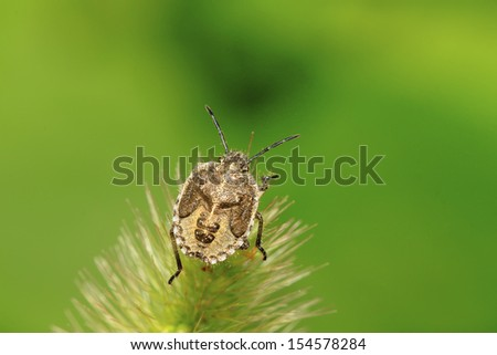 stinkbug on green leaf in the wild natural state - stock photo