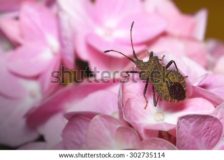 Stinkbug on hydrangea flower - stock photo