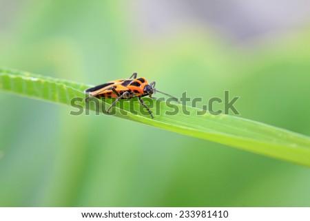 stinkbug on the green leaf, closeup of photo - stock photo