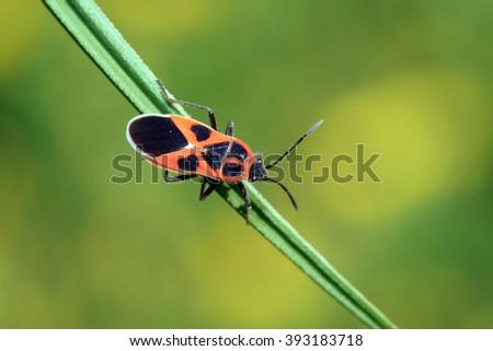 stinkbug on the plant, closeup of photo - stock photo