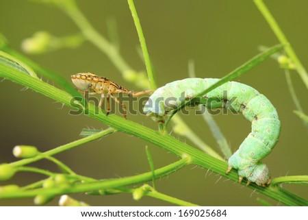 stinkbug prey on inchworm larvae in the wild - stock photo