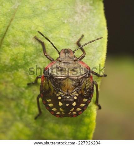Stinkbug (shieldbug) larvae resting on the leafe - stock photo