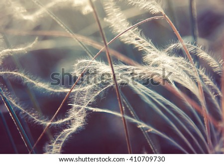 Stipa or feather grass known as a needle grass and spear grass. Stipa grow on a grasslands or savanna, and used as ornamental plants. - stock photo