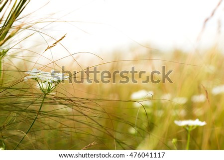 Stipa or Feather Grass with White Flower
