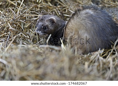 Stoat (Mustela erminea) standing on a log hunting for food
