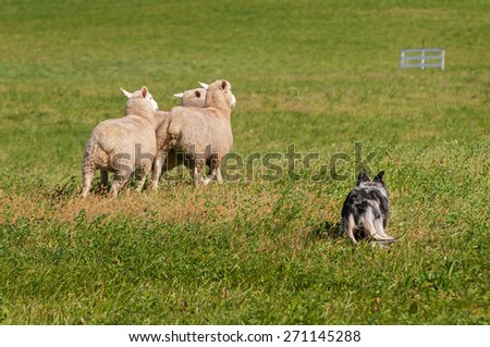 Stock Dog Herds Sheep Away (Ovis aries) - dog primary focus - stock photo