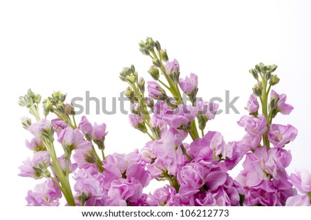 stock flower on white background