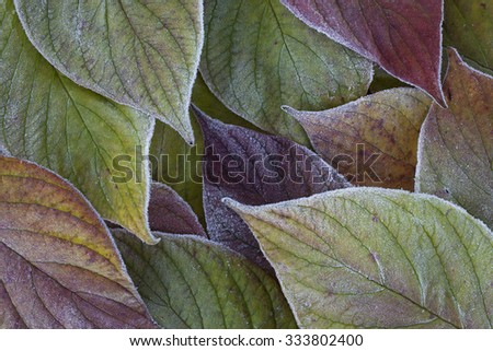 Stock image of beautiful frosty leaves background.  - stock photo