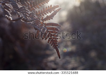 Stock image of frost-covered fern leaf hanging over a forest path at early morning, against sunlight.  - stock photo