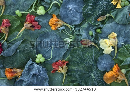 Stock image of frost-covered Garden Nasturtium (Tropaeolum majus) fading leaves and flowers at early morning in October.