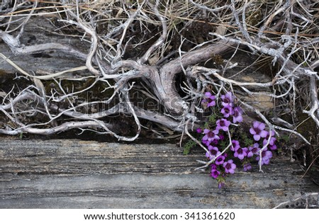Stock image of purple saxifrage blossoming between gray rocks and dried juniper at early spring at Helgeland coast, Norway.