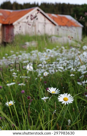 Stock image: oxeye daisies flowering in front of an old farmhouse with a red roof. Focus on daisy at front. Photographed at Blomsoy-Haestoy cultural landscape, Nordland, Norway - stock photo