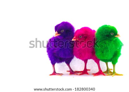 Stock Photo - Colorful cute little baby chicken against white background - stock photo