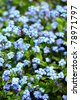 Stock Photo: Forget-me-not flowers - vertical background - stock photo