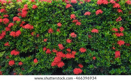 Stock Photo - Ixora  background