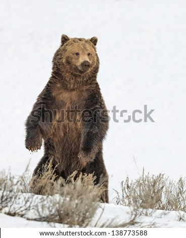 Stock photo of a grizzly bear standing on his hind legs in a snowy meadow in Yellowstone National Park, Wyoming. - stock photo