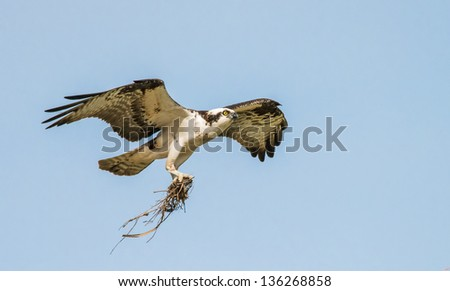 Stock photo of a male osprey in flight bringing nesting material to the nest in Longmont, Colorado - stock photo