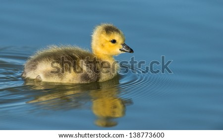 Stock photo of a one-day old Canada goose gosling swimming on a sunny morning in Sloan's Lake in Denver, Colorado - stock photo