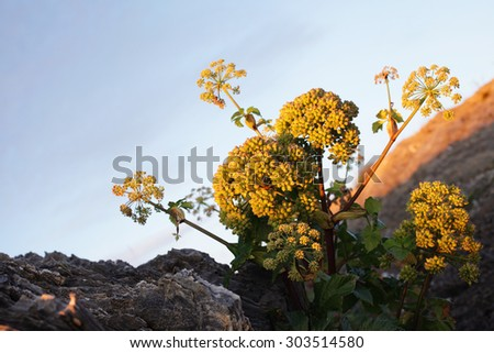 Stock photo of Angelica archangelica growing at Norwegian coastal rocks.  - stock photo