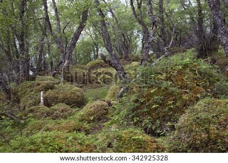 Stock photo of crooked birch forest with rocks covered by green moss. Photographed in Alstahaug area, Nordland, Norway.  - stock photo