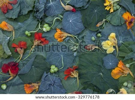 Stock photo of Garden Nasturtium (Tropaeolum majus) fading leaves and flowers. Arrangement, viewed from above.  - stock photo