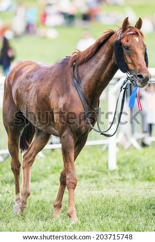 STOCKHOLM - JUNE 6: Racing horse after the race decorated for a podium place at Nationaldags Galoppen in Gardet. June 6, 2014 in Stockholm, Sweden. - stock photo