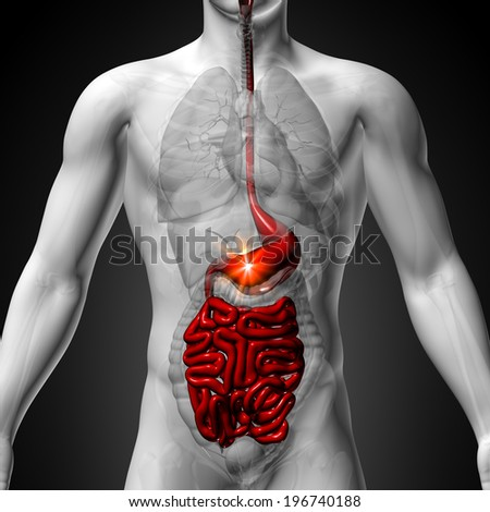 Stomach, Guts, Small Interstine - Male Anatomy of Human Organs