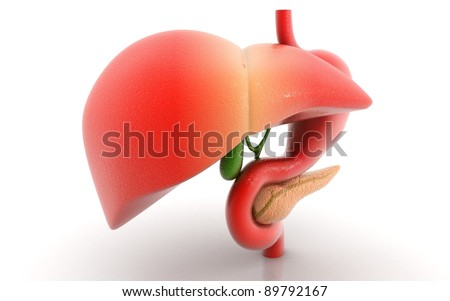 stomach liver and pancreas isolated on a white background - stock photo