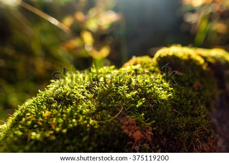stone in forest covered with moss. Sun flare at the backlit - stock photo