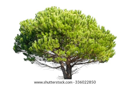 Stone Pine, Pinus Pinea, whole young tree isolated on white - stock photo
