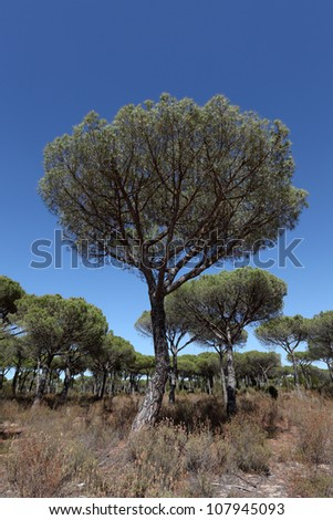 Stone Pine trees in Donana National Park, Andalusia Spain
