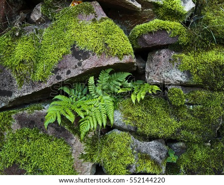 Stone wall covered with moss and ferns as background