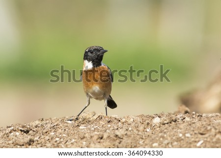 Stonechat Bird in Bahrain.