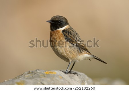 Stonechat, Saxicola torquata, single male on rock, Somerset, January 2015