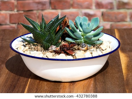 Stonecrop plants in a old enamel wasch bowl, this plants like sun and need less water. - stock photo