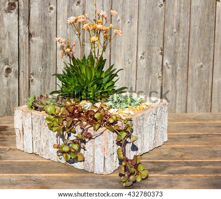 Stonecrop plants like Lewitza in a modern wooden flower pot, this plants like sun, for inside and outside decoration.