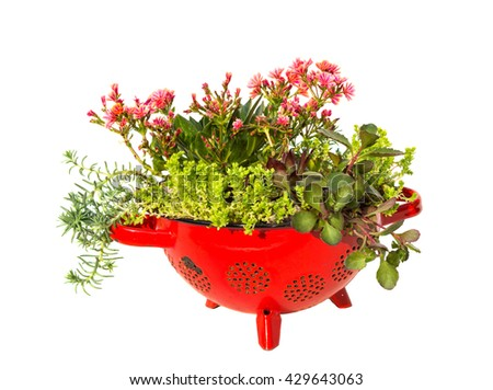 Stonecrop plants planted in a old kitchen sieve a very creative and docorative work.