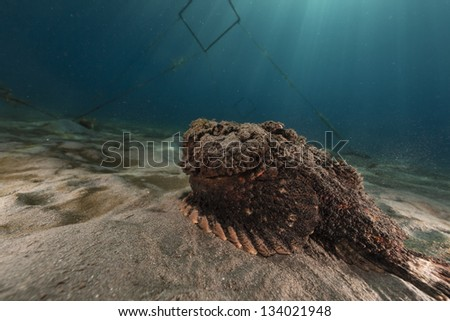 Stonefish in the Red Sea - stock photo