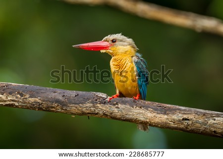 Stork-billed Kingfisher (Pelargopsis capensis) spread her feather on the branch in nature of Thailand
