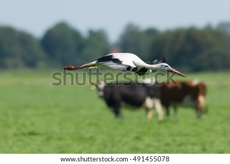 Stork foreground cows background
