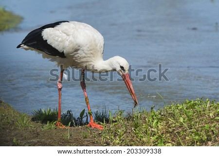 Stork portrait while eating a cricket on swamp water background - stock photo