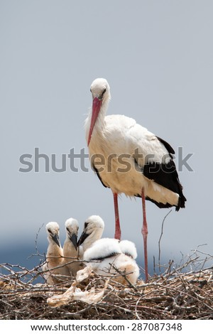 Stork with baby birds in the nest - stock photo